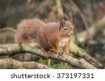red squirrel  sciurus vulgaris  ... | Shutterstock . vector #373197331