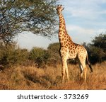 giraffe attention | Shutterstock . vector #373269