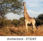 giraffe attention | Shutterstock . vector #373269