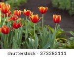 Tulips. Fresh Tulips. Beautifu...