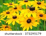 Yellow Rudbeckia Flower In The...