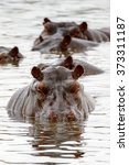 Hippopotamus  In The Moremi...
