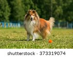 Rough Collie In Park