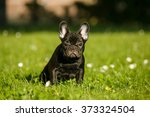French Bulldog Puppy In The...