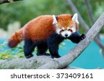 Photo Of A Cute Red Panda On...
