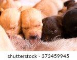 suckling of labrador retriever... | Shutterstock . vector #373459945