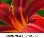 Hemerocallis  Daylily  Macro I...