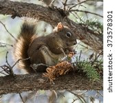 Small photo of American red squirrel, Tamiasciurus hudsonicus, Jasper, Alberta, Canada