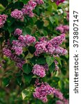 lilac | Shutterstock . vector #373807147