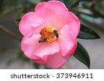 Pink Camellia Flower Closeup...