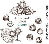 hazelnut plant set. hand drawn...   Shutterstock .eps vector #373978081