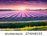Fields Of Blooming Hyacinth...