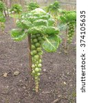 Small photo of Brussels Sprout Plant (Brassica oleracea) on a Vegetable Allotment in Devon, England, UK
