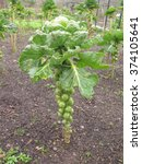 Brussels Sprout Plant  Brassic...