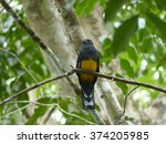 Small photo of The green-backed trogon (Trogon viridis), also known as the Amazonian white-tailed trogon