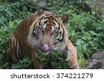 intimate with sumatran tiger | Shutterstock . vector #374221279