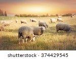 flock of sheep grazing in a... | Shutterstock . vector #374429545