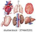 watercolor anatomy collection.  ... | Shutterstock . vector #374665201