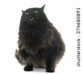 Stock photo large black cat in front of white background 374680891