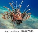 Common Lionfish.  Pterois Mile...