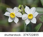 Polyanthus Narcissus  ...