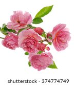 branch of pink climbing rose | Shutterstock . vector #374774749