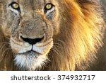Sun kissed male lion close up