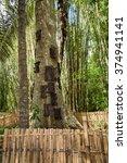 Kambira. Large Old Tree...