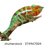 Panther Chameleon   Male  ...