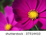 Soft abstract image of vivid cosmos flowers.  Macro with extremely shallow dof. - stock photo