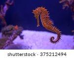 Closeup seahorse swimming in...
