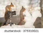 Red Squirrels With Snow...