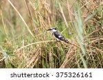 pied kingfisher  ceryle rudis ... | Shutterstock . vector #375326161