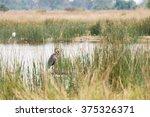 goliath heron  ardea goliath ... | Shutterstock . vector #375326371
