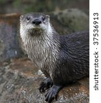 Otter   The Cutest European...