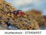Atlantic Rock Crab  Grapsus...