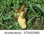 Ducklings Of A Musky Duck....