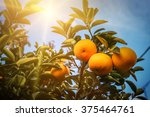 Orange Tree Sun Light