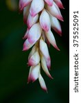 Small photo of Beautiful pink and white buds of shell ginger, Alpinia zerumbet