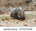 Malayan Porcupine  Himalayan...