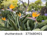 Strelitzia Reginae  A Bird Of...