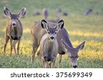 Mule Deer Fawn And Does Grazin...