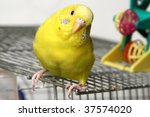 Yellow Budgie Sits On A Cage