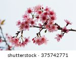 thai sakura in winter at phu... | Shutterstock . vector #375742771