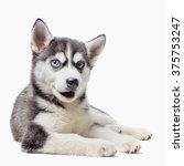Stock photo husky puppy with different eyes opened his mouth funny 375753247