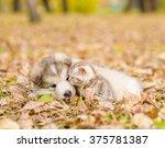 Stock photo alaskan malamute puppy playing with tabby kitten in autumn park 375781387