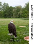 Small photo of American eagle in nature