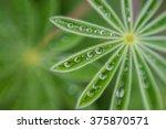 rain drops on lupine leaves | Shutterstock . vector #375870571