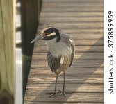Small photo of Yellow-crowned Night Heron