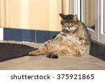 Stock photo lazy cat basking in the sun on the street fat cat 375921865